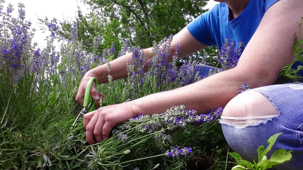 Lavender Harvesting Time